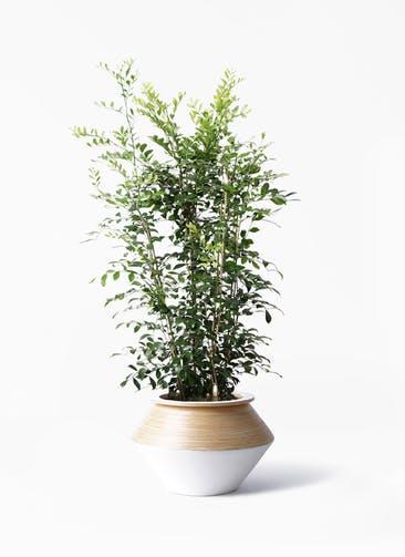 観葉植物 シルクジャスミン(げっきつ) 8号 アルマジャー 白 付き