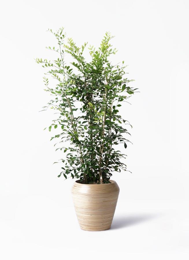 観葉植物 シルクジャスミン(げっきつ) 8号 アルマ ミドル 付き