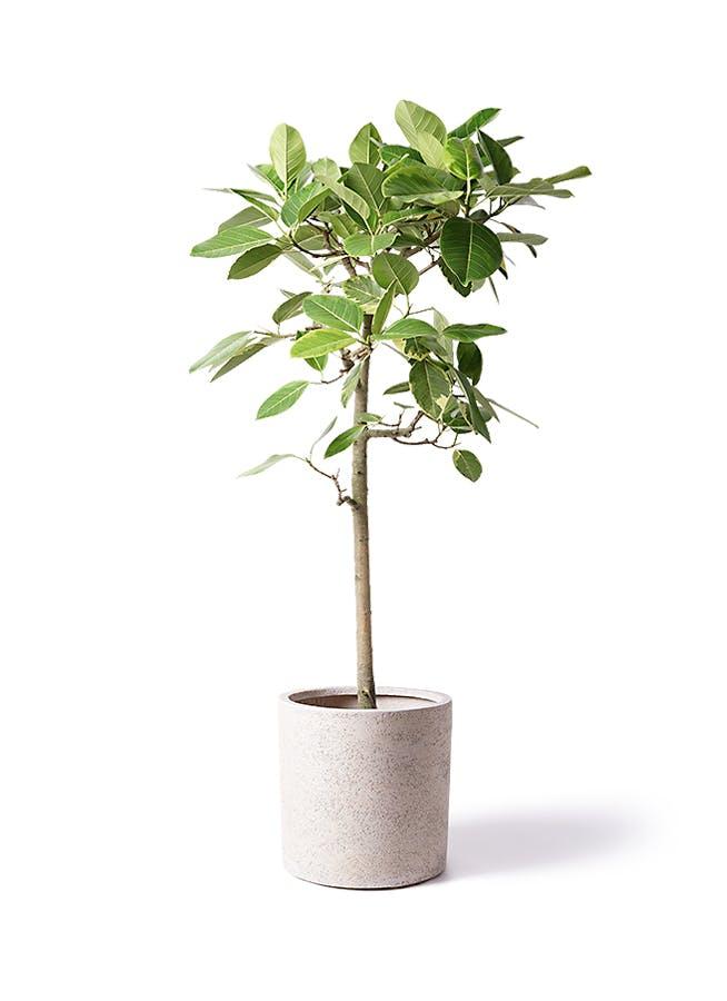 観葉植物 フィカス アルテシーマ 10号 ストレート サンディ シリンダー 白 付き