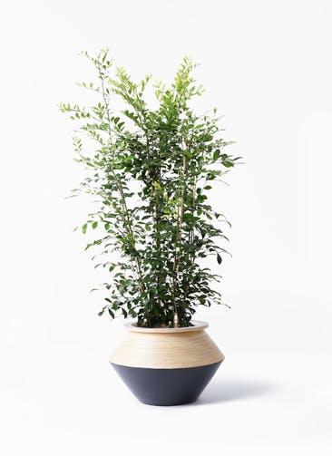 観葉植物 シルクジャスミン(げっきつ) 8号 アルマジャー 黒 付き