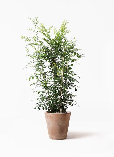 観葉植物 シルクジャスミン(げっきつ) 8号 ルーガ アンティコ ソリッド 付き