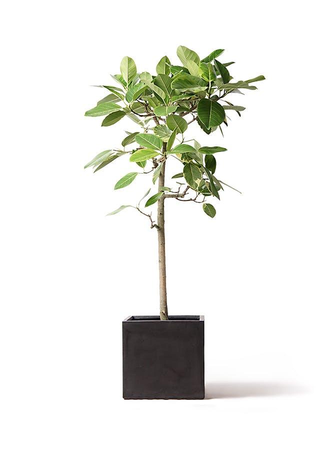 観葉植物 フィカス アルテシーマ 10号 ストレート ファイバークレイ キューブ 付き