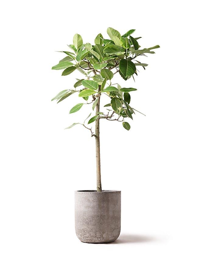 観葉植物 フィカス アルテシーマ 10号 ストレート エルバ 白