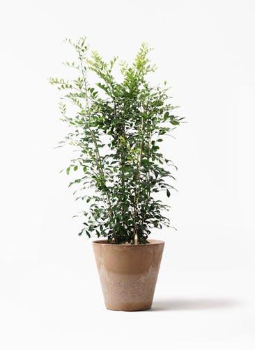 観葉植物 シルクジャスミン(げっきつ) 8号 アートストーン ラウンド ベージュ 付き