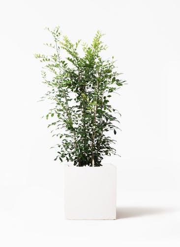 観葉植物 シルクジャスミン(げっきつ) 8号 バスク キューブ 付き