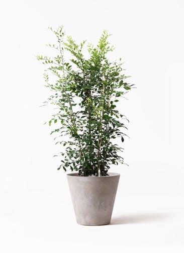 観葉植物 シルクジャスミン(げっきつ) 8号 アートストーン ラウンド グレー 付き