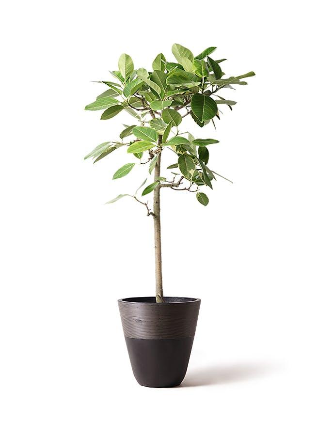 観葉植物 フィカス アルテシーマ 10号 ストレート ジュピター 黒