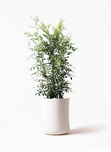 観葉植物 シルクジャスミン(げっきつ) 8号 バスク ミドル ホワイト 付き