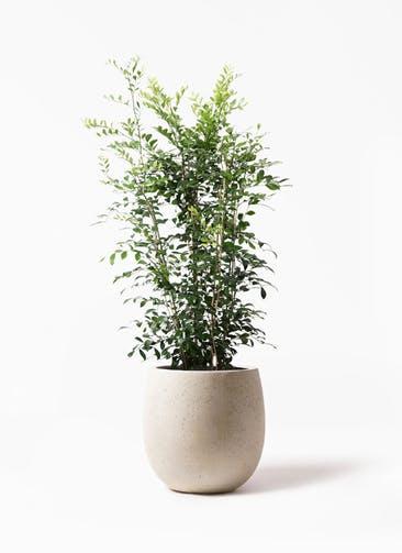 観葉植物 シルクジャスミン(げっきつ) 8号 テラニアス バルーン アンティークホワイト 付き