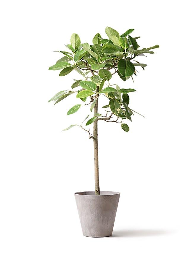 観葉植物 フィカス アルテシーマ 10号 ストレート アートストーン ラウンド グレー