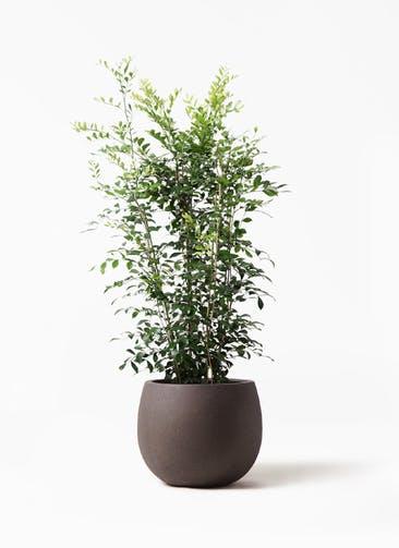 観葉植物 シルクジャスミン(げっきつ) 8号 テラニアス ローバルーン アンティークブラウン 付き