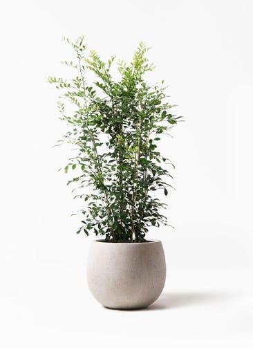 観葉植物 シルクジャスミン(げっきつ) 8号 テラニアス ローバルーン アンティークホワイト 付き