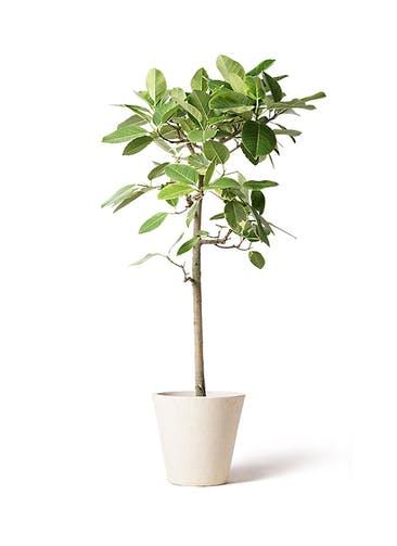 観葉植物 フィカス アルテシーマ 10号 ストレート フォリオソリッド クリーム