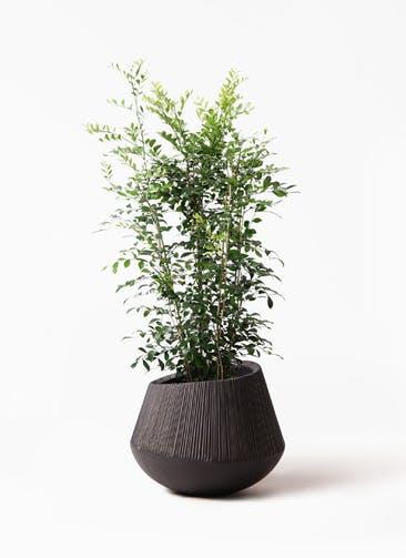 観葉植物 シルクジャスミン(げっきつ) 8号 エディラウンド 黒 付き
