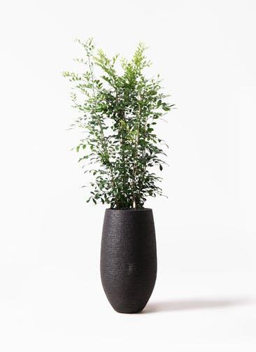 観葉植物 シルクジャスミン(げっきつ) 8号 フォンティーヌトール 黒 付き