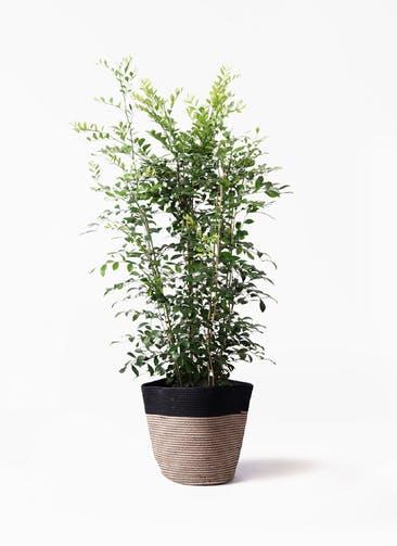 観葉植物 シルクジャスミン(げっきつ) 8号 リブバスケットNatural and Black 付き