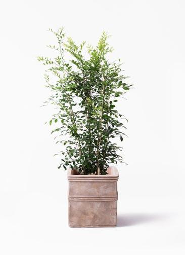 観葉植物 シルクジャスミン(げっきつ) 8号 テラアストラ カペラキュビ 赤茶色 付き