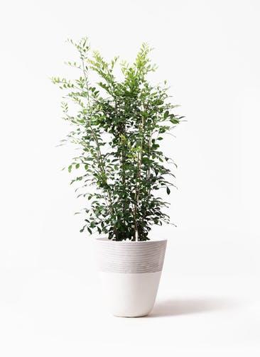 観葉植物 シルクジャスミン(げっきつ) 8号 ジュピター 白 付き