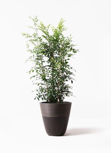 観葉植物 シルクジャスミン(げっきつ) 8号 ジュピター 黒 付き
