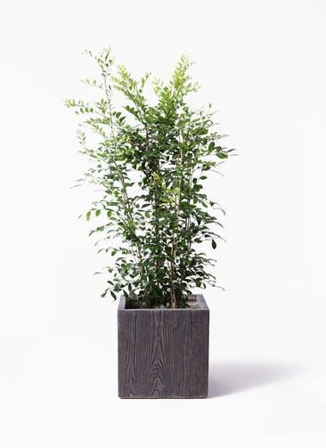 観葉植物 シルクジャスミン(げっきつ) 8号 ベータ キューブプランター ウッド 茶 付き