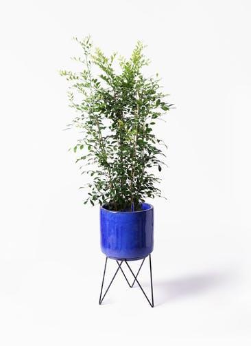 観葉植物 シルクジャスミン(げっきつ) 8号 ビトロ エンデカ ブルー アイアンポットスタンド ブラック 付き