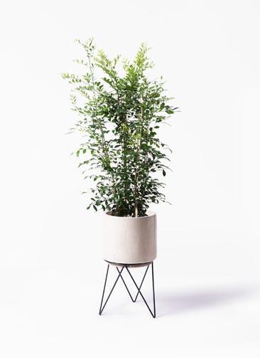 観葉植物 シルクジャスミン(げっきつ) 8号 ビトロ エンデカ クリーム アイアンポットスタンド ブラック 付き