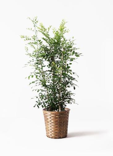 観葉植物 シルクジャスミン(げっきつ) 8号 竹バスケット 付き