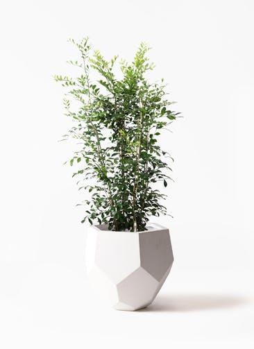 観葉植物 シルクジャスミン(げっきつ) 8号 ポリゴヘクサ 白 付き