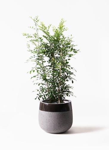 観葉植物 シルクジャスミン(げっきつ) 8号 ファイバーストーンタウルス 黒 付き