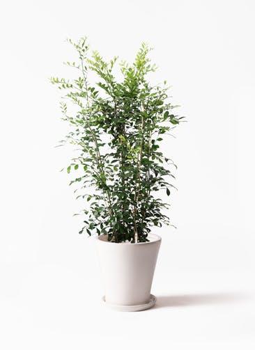 観葉植物 シルクジャスミン(げっきつ) 8号 サブリナ 白 付き