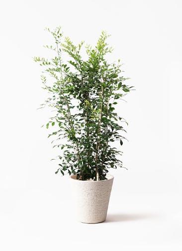 観葉植物 シルクジャスミン(げっきつ) 8号 ビアスソリッド 白 付き