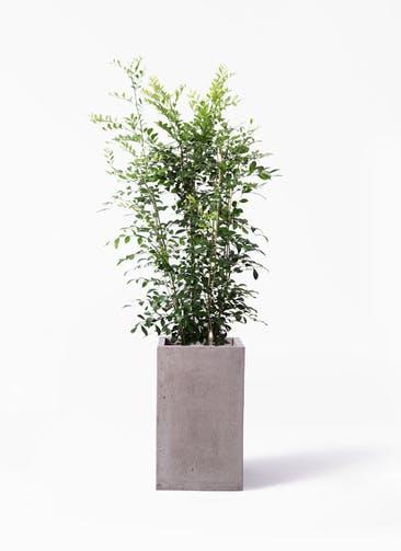 観葉植物 シルクジャスミン(げっきつ) 8号 セドナロング グレイ 付き