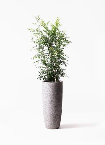 観葉植物 シルクジャスミン(げっきつ) 8号 エコストーントールタイプ Gray 付き