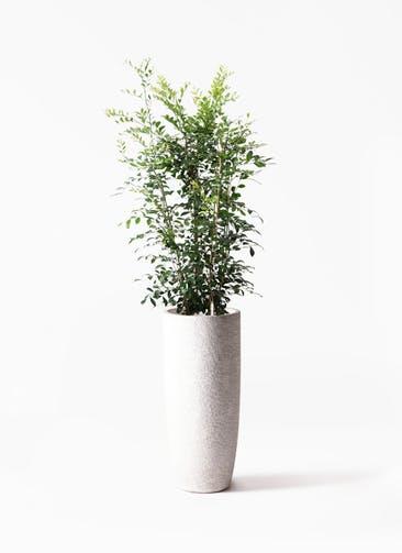 観葉植物 シルクジャスミン(げっきつ) 8号 エコストーントールタイプ white 付き