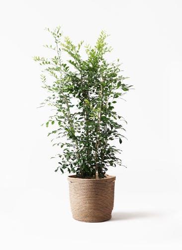 観葉植物 シルクジャスミン(げっきつ) 8号 リブバスケットNatural 付き