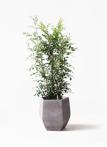 観葉植物 シルクジャスミン(げっきつ) 8号 ファイバークレイ Gray 付き
