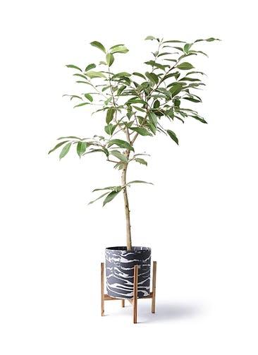 観葉植物 アマゾンオリーブ (ムラサキフトモモ) 8号 ホルスト シリンダー マーブル ウッドポットスタンド付き