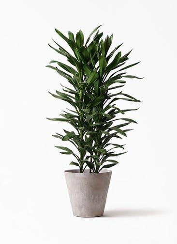 観葉植物 ドラセナ グローカル 10号 アートストーン ラウンド グレー 付き