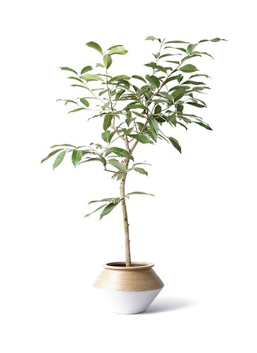 観葉植物 アマゾンオリーブ (ムラサキフトモモ) 8号 アルマジャー 白 付き