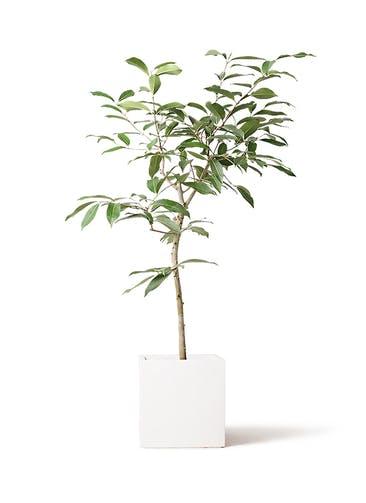 観葉植物 アマゾンオリーブ (ムラサキフトモモ) 8号 バスク キューブ 付き