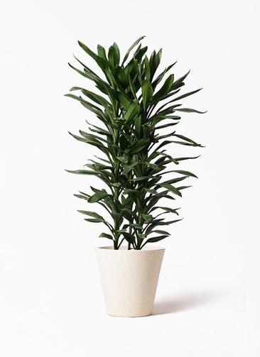 観葉植物 ドラセナ グローカル 10号 フォリオソリッド クリーム 付き