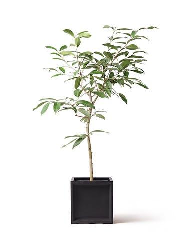 観葉植物 アマゾンオリーブ (ムラサキフトモモ) 8号 ブリティッシュキューブ 付き