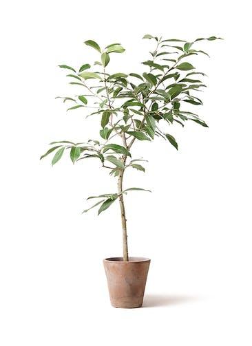 観葉植物 アマゾンオリーブ (ムラサキフトモモ) 8号 ルーガ アンティコ ソリッド 付き