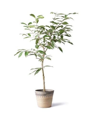 観葉植物 アマゾンオリーブ (ムラサキフトモモ) 8号 アルマ コニック 白 付き