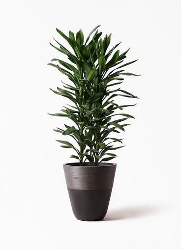 観葉植物 ドラセナ グローカル 10号 ジュピター 黒 付き