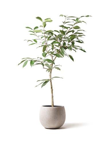 観葉植物 アマゾンオリーブ (ムラサキフトモモ) 8号 テラニアス ローバルーン アンティークホワイト 付き