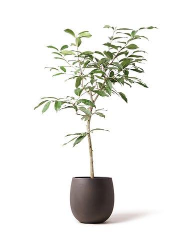観葉植物 アマゾンオリーブ (ムラサキフトモモ) 8号 テラニアス バルーン アンティークブラウン 付き