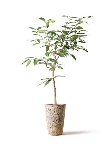 観葉植物 アマゾンオリーブ (ムラサキフトモモ) 8号 アトランティス クルーシブル 付き