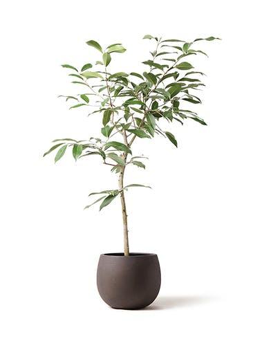 観葉植物 アマゾンオリーブ (ムラサキフトモモ) 8号 テラニアス ローバルーン アンティークブラウン 付き