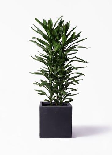 観葉植物 ドラセナ グローカル 10号 ベータ キューブプランター 黒 付き